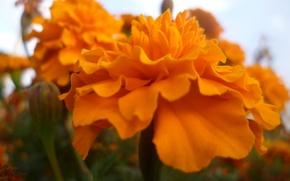 Picture Macro, Flowers, Autumn, Garden, Belarus, Marigolds