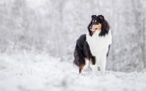 Picture winter, snow, dog, Collie, Scottish shepherd