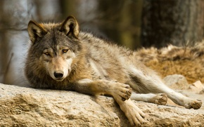 Picture look, stay, stone, wolf, predator