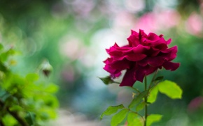 Picture flower, background, rose, petals