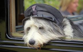 Picture face, dog, cap