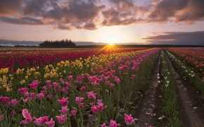 Picture field, summer, the sun, rays, dawn, morning, tulips