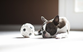Picture the ball, dog, pug