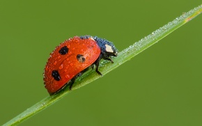 Picture drops, ladybug, beetle, Red Climber