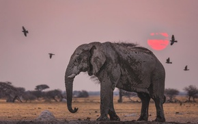 Picture the sun, sunset, birds, elephant, Savannah, Africa
