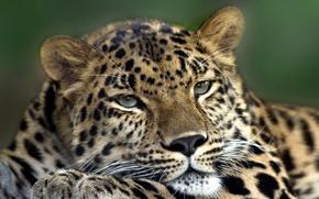 Picture cat, eyes, mustache, face, animal, paw, predator, head, wool, leopard, skin, color, beast, ears, between, …