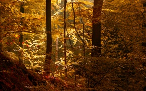 Wallpaper the sun, thicket, autumn, forest, leaves