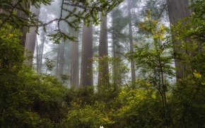 Picture forest, trees, fog, the evening, CA, haze, USA, state, Sequoia, Redwood