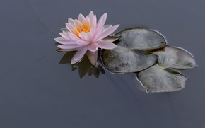 Picture water Lily, Nymphaeum, water, Lily, leaves