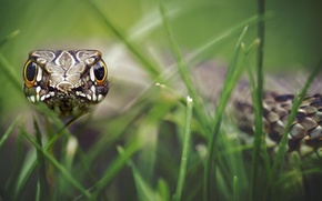 Picture grass, look, scales, bokeh, hypnosis, reptile