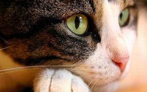 Picture cat, eyes, cat, face, macro, animal, paw, nose, green, lying
