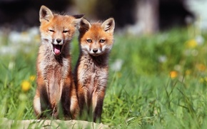 Picture morning, Fox, two, chanterelles, we woke up