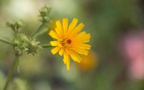 Picture flower, summer, flowers, yellow, nature, plants, wild flower, yellow flower