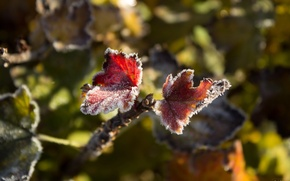 Picture frost, autumn, leaf