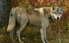 Picture autumn, forest, look, Grey wolf