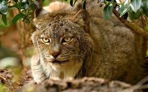 Wallpaper lynx, predator, face