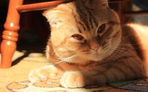 Picture cat, look, light, kitten, cat, harsh, cat, Monya, scottish, fold