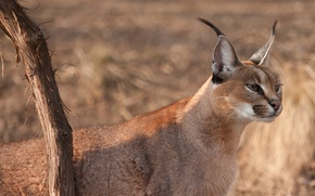 Picture cat, look, branch, wild, face, looks, Caracal, ears, brush