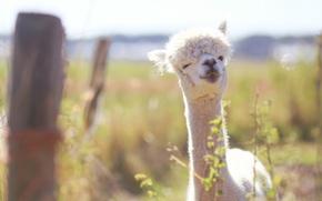 Picture smile, Lama, bokeh