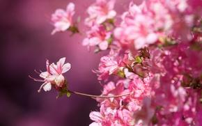 Picture macro, background, Sakura, flowering