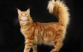 Picture cat, fluffy, red, home, Maine Coon, pedigree, native breed