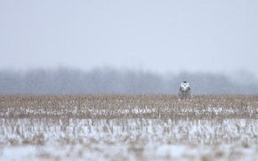 Picture grass, snow, grass, camouflage, snowy owl, camouflage, Snowy owl, snowing