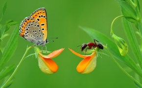 Picture grass, macro, butterfly, insect, Moores