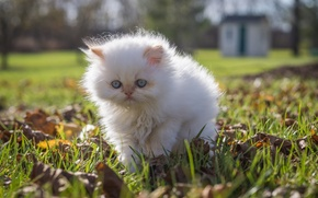 Picture white, fluffy, walk, kitty