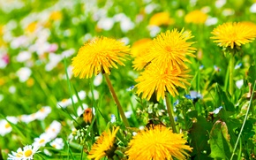 Picture flowers, glade, chamomile, yellow, dandelions