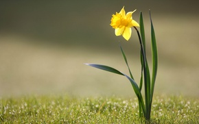 Picture flower, grass, Rosa, Narcissus
