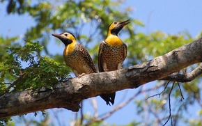 Picture Yellow, Leaves, Branch, Couple, Woodpeckers, Colaptes Campestris