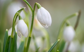 Picture flowers, spring, blur, snowdrops, white