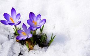 Picture purple, macro, snow, flowers, spring, crocuses, buds, flowers, primrose, snow, macro, spring, violet, primrose, сrocus