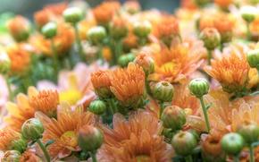 Picture flowers, macro, petals, Rosa, gerbera, buds, drops