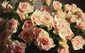 Picture flowers, roses, bouquet, petals, pink, buds