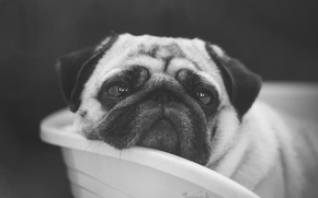 Picture face, each, dog, pug