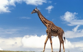 Wallpaper the sky, clouds, giraffe