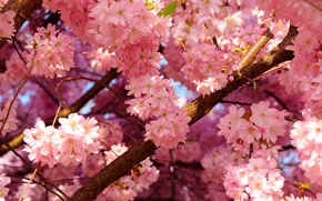 Picture the sky, cherry, tree, spring, petals, flowering