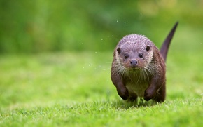 Picture grass, shore, running, otter