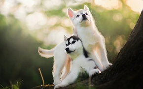 Picture blur, puppies, two, husky