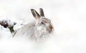 Picture nature, background, hare