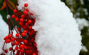 Picture snow, berries, branch, red