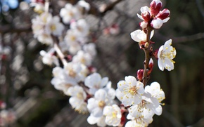 Picture flower, macro, cherry, sprig, branch, spring, flowers, apricot, flowering, kidney, bokeh
