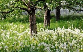 Picture trees, nature, garden, dandelions