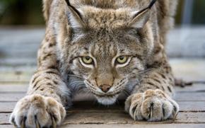 Picture cat, look, claws, lynx, ©Tambako The Jaguar