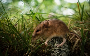 Picture grass, young, mouse