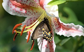 Picture flower, macro, butterfly, Lily, stamens, Papilio polyxenes