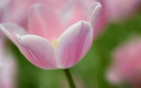 Picture macro, nature, Tulip, spring, petals