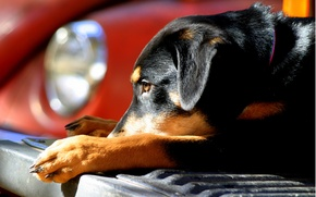 Picture machine, the sun, dog, puppy, bumper, lying, shepherd