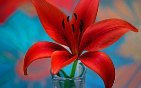 Picture flower, Lily, petals, stamens